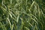 champs-plantes-farines